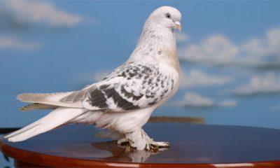Güvercin hırsızlarına rekor ceza verildi