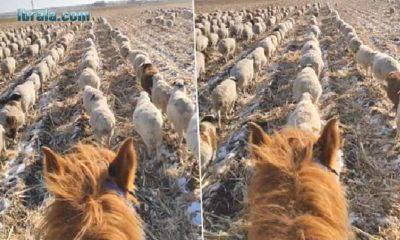 Koyunları Asker Gibi Yürüten Çoban Büyük İlgi Gördü