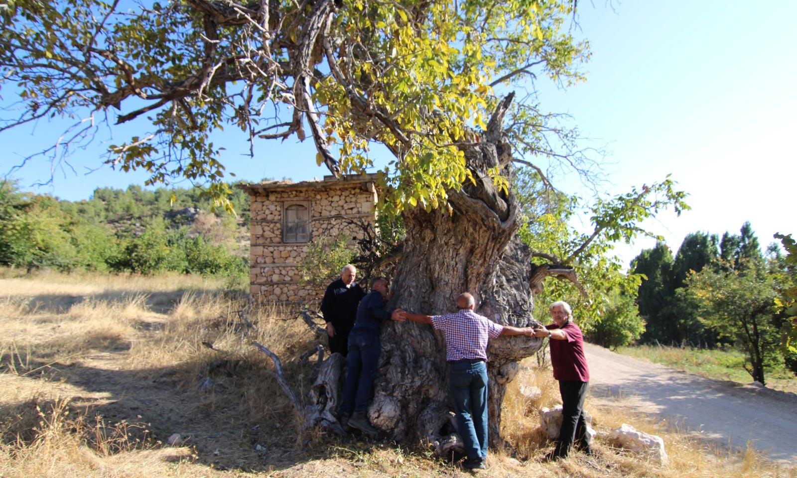 Ermenek'de Ceviz Ağaçları Koruma Altına Alınıyor