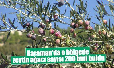 Karaman'da o bölgede  zeytin ağacı sayısı 200 bini buldu