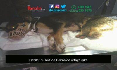 Caniler bu kez de Edirne'de ortaya çıktı