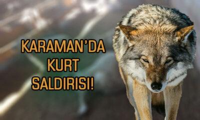 Karaman'da kurt saldırısı!
