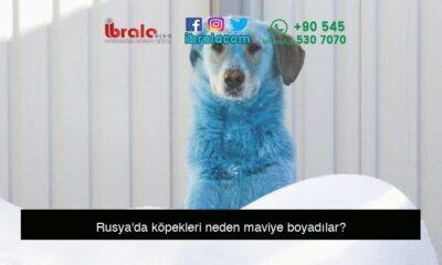 Rusya'da köpekleri neden maviye boyadılar?