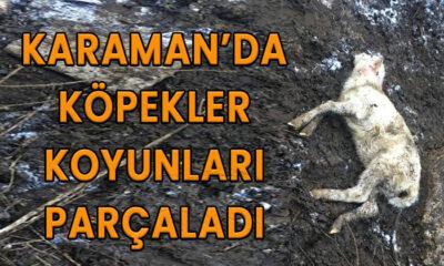 Karaman'da köpekler koyunları parçaladı
