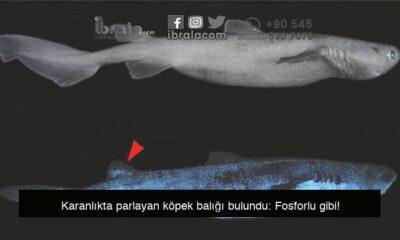 Karanlıkta parlayan köpek balığı bulundu: Fosforlu gibi!