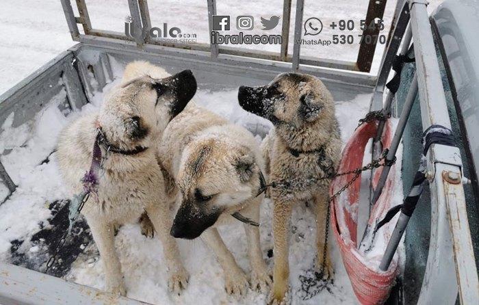 Karaman'da çobanlar ölümden döndü!