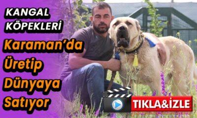 Köpekleri Karaman'da üretip dünyaya satıyor