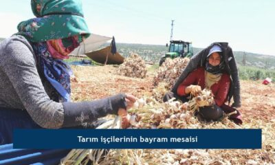 Tarım işçilerinin bayram mesaisi