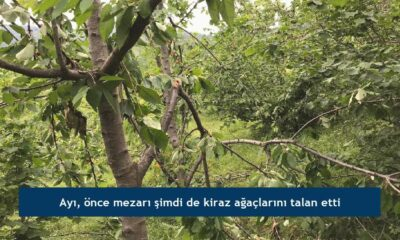 Ayı, önce mezarı şimdi de kiraz ağaçlarını talan etti