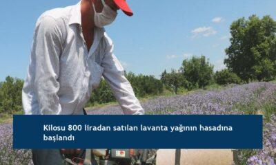 Kilosu 800 liradan satılan lavanta yağının hasadına başlandı
