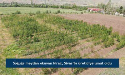 Soğuğa meydan okuyan kiraz, Sivas'ta üreticiye umut oldu