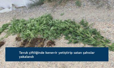 Tavuk çiftliğinde kenevir yetiştirip satan şahıslar yakalandı