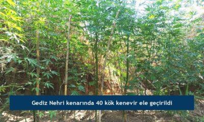 Gediz Nehri kenarında 40 kök kenevir ele geçirildi