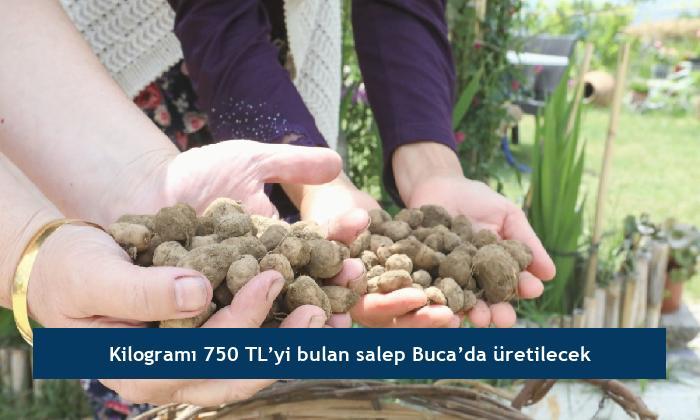 Kilogramı 750 TL'yi bulan salep Buca'da üretilecek