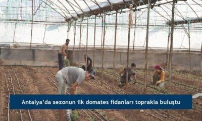Antalya'da sezonun ilk domates fidanları toprakla buluştu