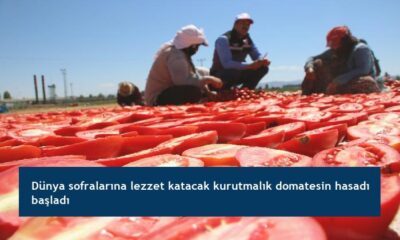 Dünya sofralarına lezzet katacak kurutmalık domatesin hasadı başladı