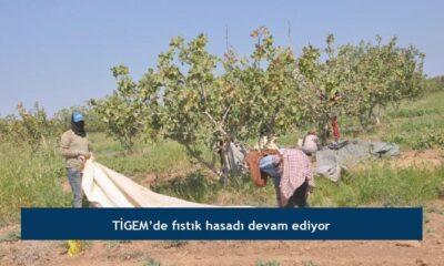 TİGEM'de fıstık hasadı devam ediyor