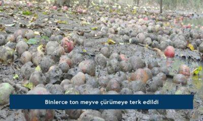 Binlerce ton meyve çürümeye terk edildi