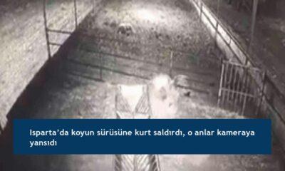 Isparta'da koyun sürüsüne kurt saldırdı, o anlar kameraya yansıdı