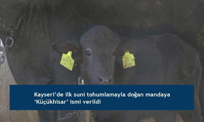 Kayseri'de ilk suni tohumlamayla doğan mandaya 'Küçükhisar' ismi verildi