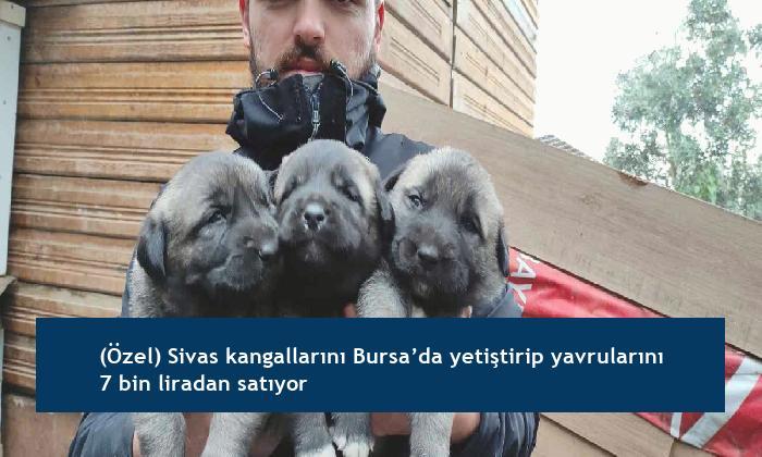 (Özel) Sivas kangallarını Bursa'da yetiştirip yavrularını 7 bin liradan satıyor