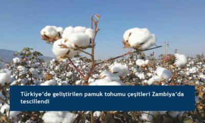 Türkiye'de geliştirilen pamuk tohumu çeşitleri Zambiya'da tescillendi